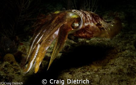 Magical/ This shot was taken on a night dive off Lighthou... by Craig Dietrich