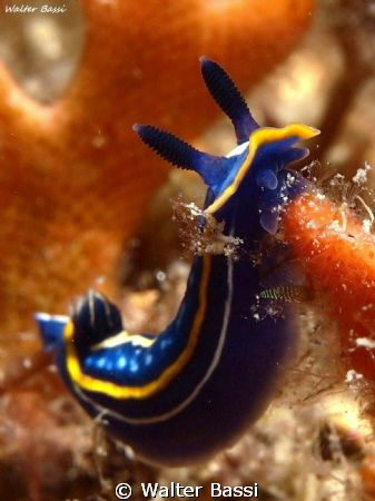 Hypselodoris tricolor by Walter Bassi 
