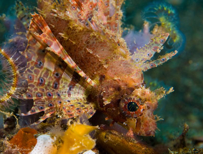 Shortfin lionfish by John Roach