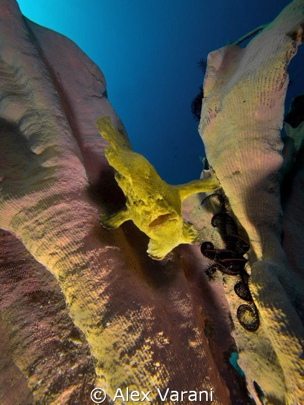 Antennarius commersonii con huge sponge by Alex Varani