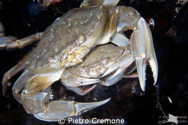 Crabs preparing for mating by Pietro Cremone