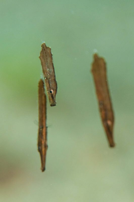 A triplet of juvenile Robust Ghost Pipefish by Paul Colley 