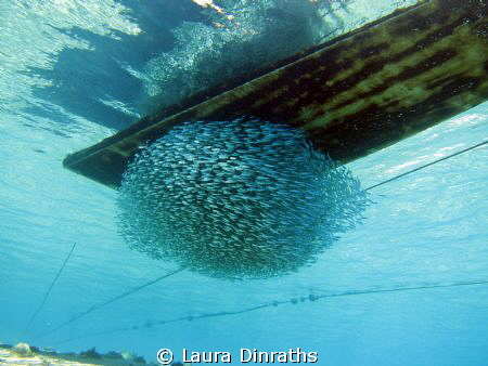 Schooling under a boat by Laura Dinraths