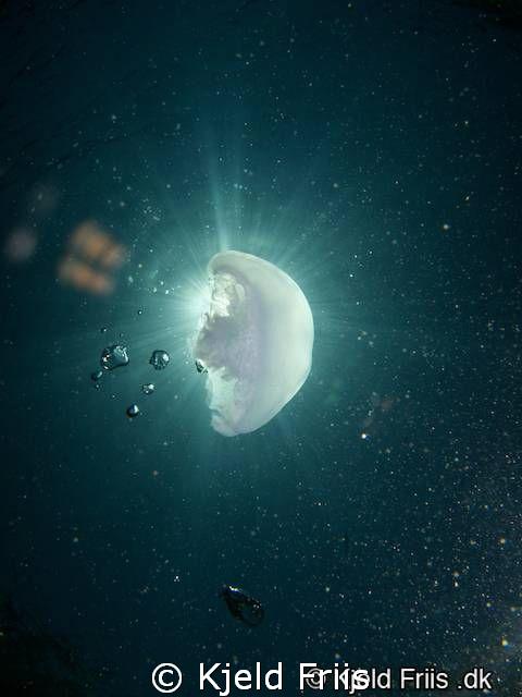 Moon Jellyfish by Kjeld Friis