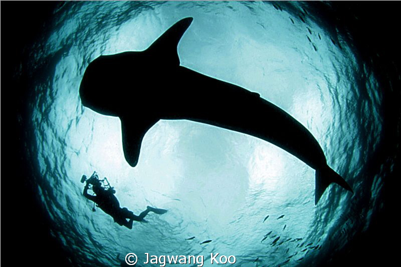 whale shark and diver by Jagwang Koo