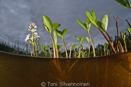 Menyanthes trifoliata. Sodankylä, North Finland. Aquatic... by Toni Silvennoinen