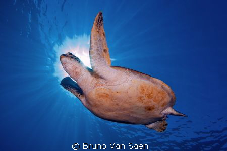 Green turtle in Dahab by Bruno Van Saen