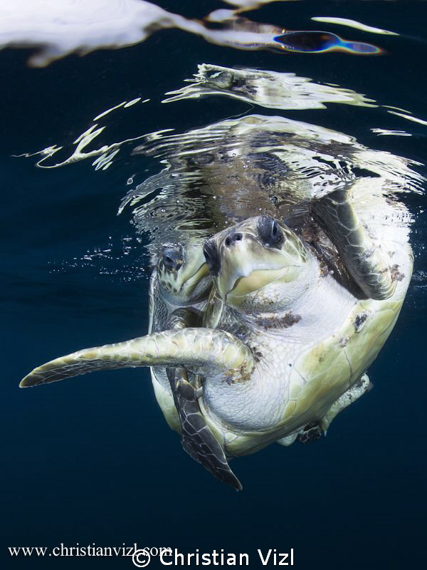 Sea Turtles mating, found in open ocean 5 miles off the c... by Christian Vizl