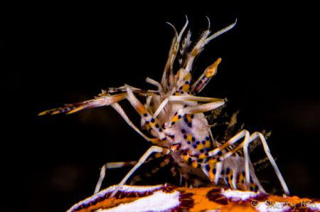 Tiger Shrimp@Lembeh Strait by Sherry Hsu