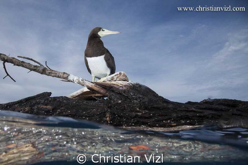 Sea bird standing on a log, floating in the pacific ocean... by Christian Vizl