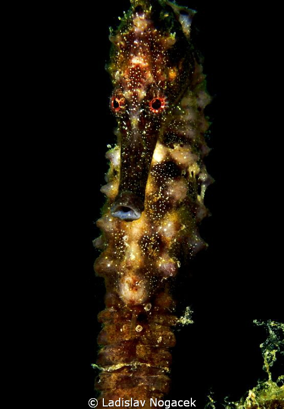 My lovely sea horse at lighthouse reef in Dahab by Ladislav Nogacek