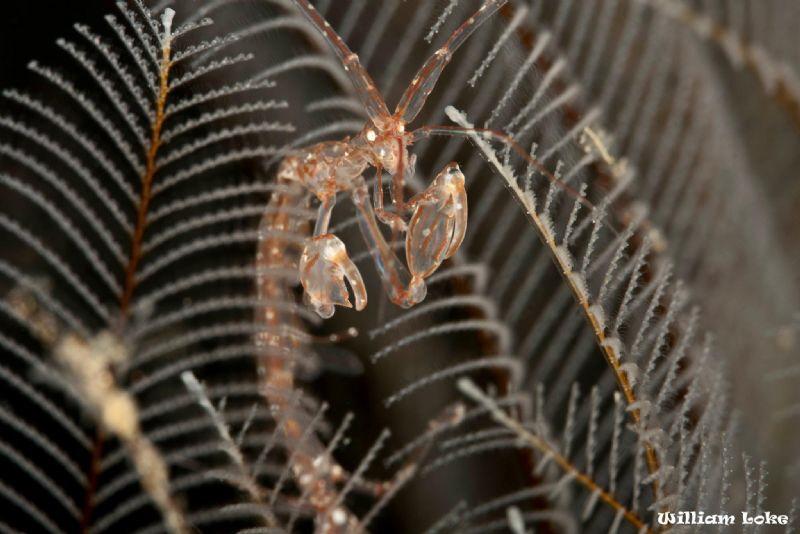 Skeleton Shrimp in its living environment by William Loke
