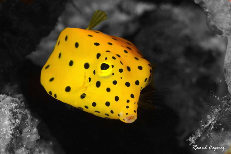 Little yellow friend (background converted in B&W) by Raoul Caprez