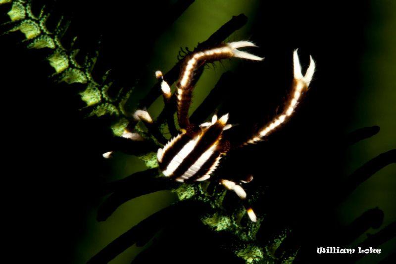 Crinoid Squat Lobster by William Loke