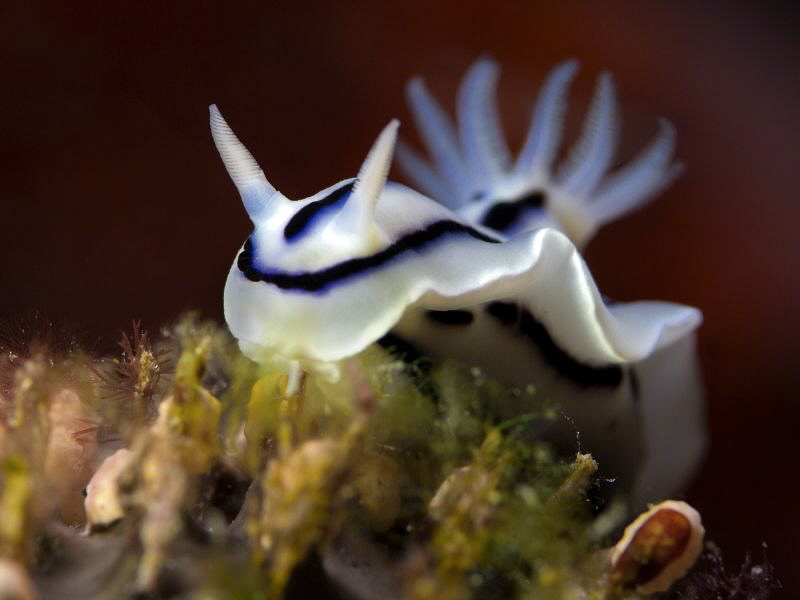 Chromodoris cf. lochi -close up- by Alex Varani 