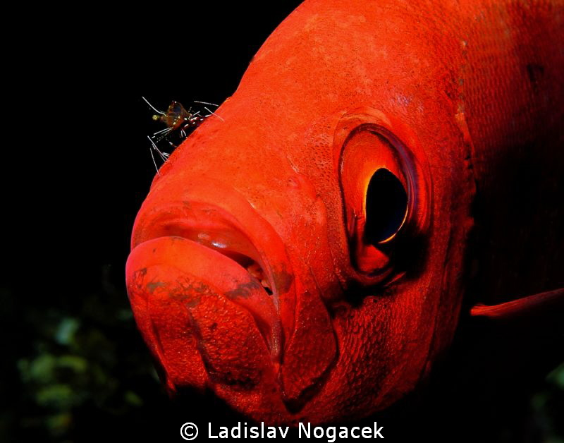 cleaner shrimp by Ladislav Nogacek
