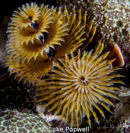 Christmas tree worms by Luke Popwell