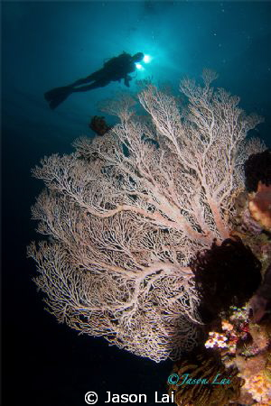 Sea Fan and diver in Buyat Bay, North Sulawesi. by Jason Lai 