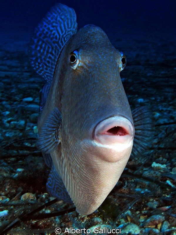 Mediterranean triggerfish (balistes carolinensis) by Alberto Gallucci