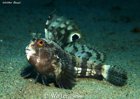 Blennius ocellaris by Walter Bassi