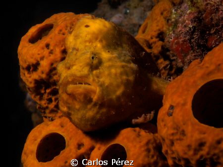 Personal Close up to a Froggie by Carlos Pérez