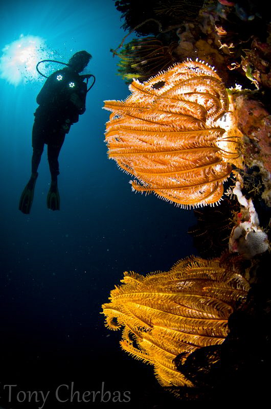 Fire Underwater: Backlit + Frontlit Crinoids by Tony Cherbas 