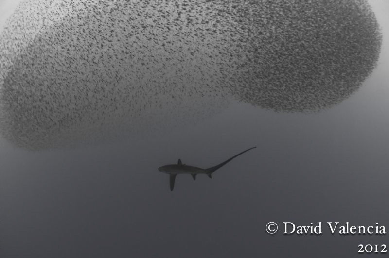 A rare sighting of a thresher shark milling around undern... by David Valencia
