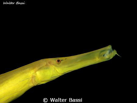 Yellow fish by Walter Bassi