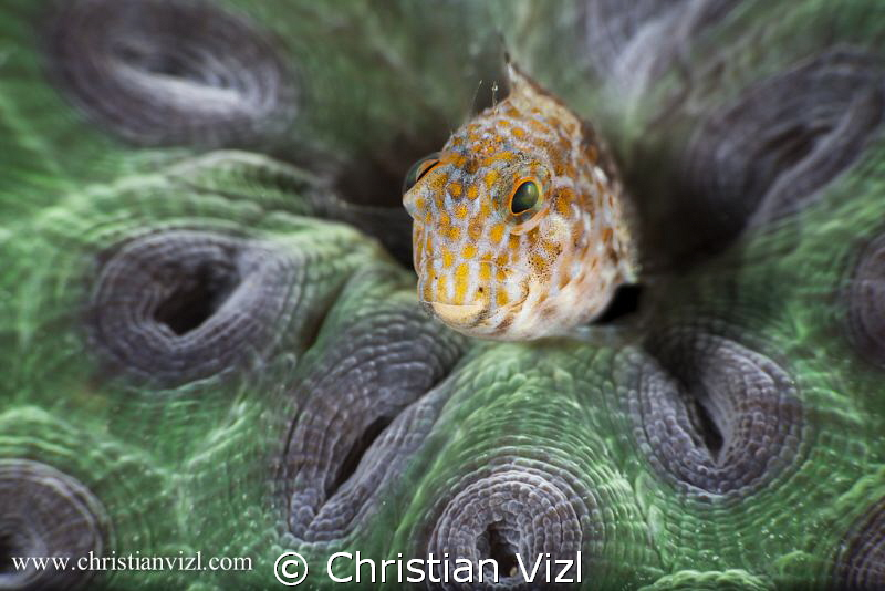 Blenny in beautiful coral reef, Veracruz, Mexico. by Christian Vizl 