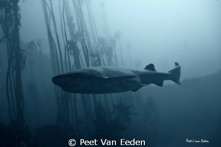 Dark Knight. Primitive sevengilled cow shark in a sea kel... by Peet Van Eeden