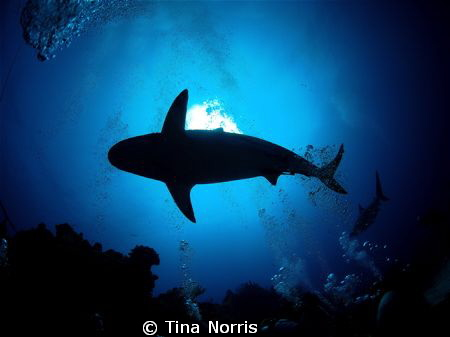Sharks in Roatan, Honduras by Tina Norris