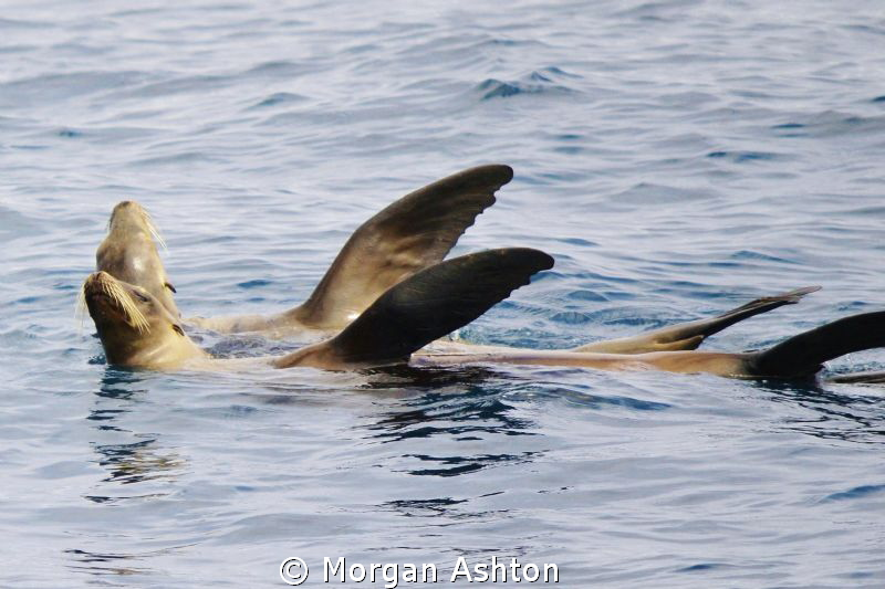 Sea lions synchronized sunbathing. On top of Farnsworth R... by Morgan Ashton 