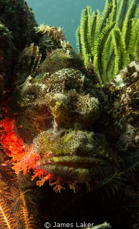 Scorpionfish conveniently waiting for me on a safety stop by James Laker