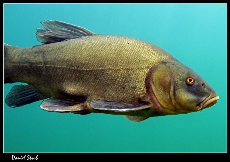 Close-up of a tench (tinca tinca) :-D by Daniel Strub