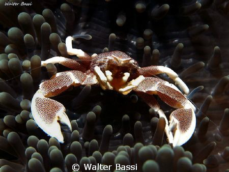 Porcelain crab by Walter Bassi