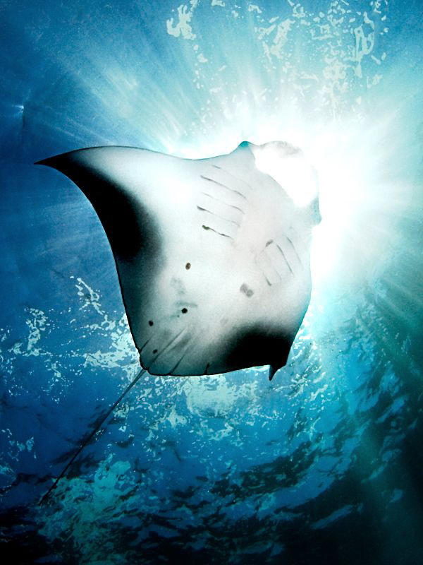 &quot;Sun Diver - Manta&quot;