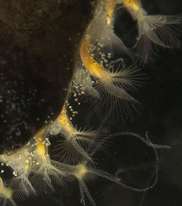 plumatella zooids side by side  with hydras and bell an... by Chris Krambeck