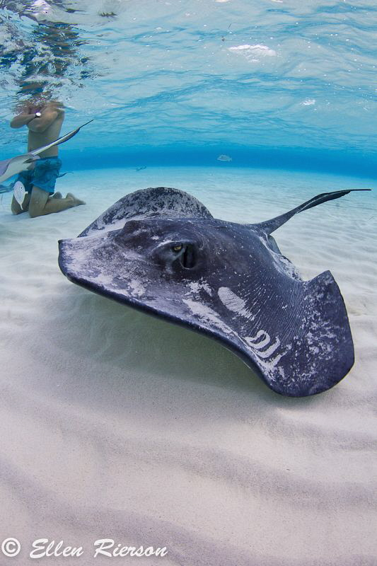 This was taken at the Stingray Sandbar in Cayman, with na... by Ellen Rierson