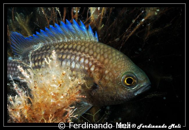 Chromis by Ferdinando Meli