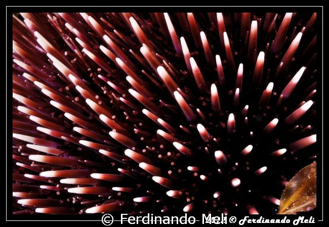 Pattern of Sea urchin by Ferdinando Meli 