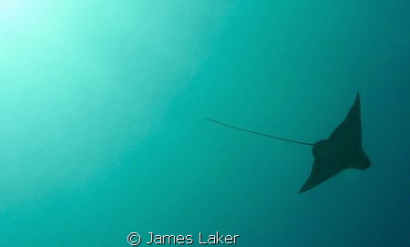 Silhouette of Eagle Ray by James Laker