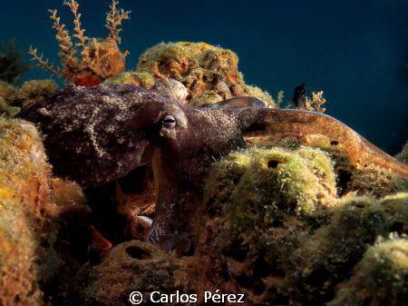 """Eye"" cephalopod mollusc  Like a Painting by Carlos Pérez"