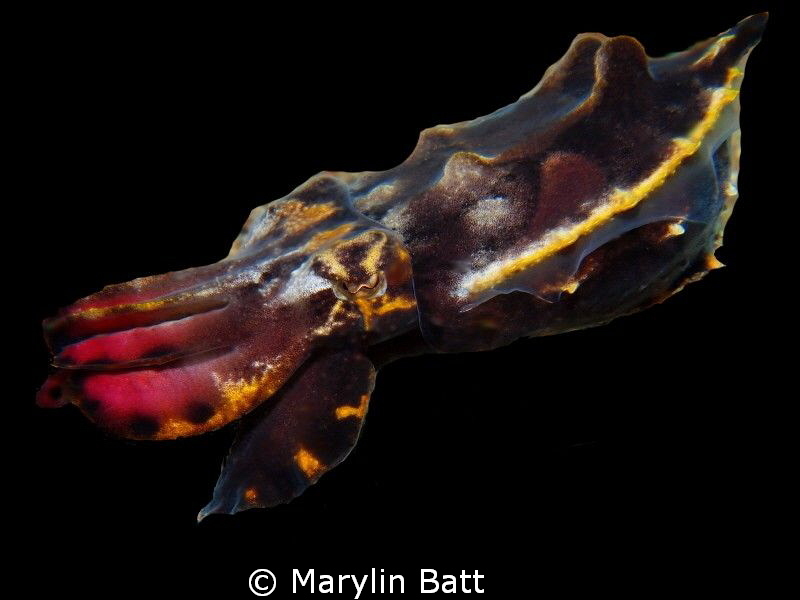 Flamboyant Cuttlefish that seemed fascinated with my ligh... by Marylin Batt