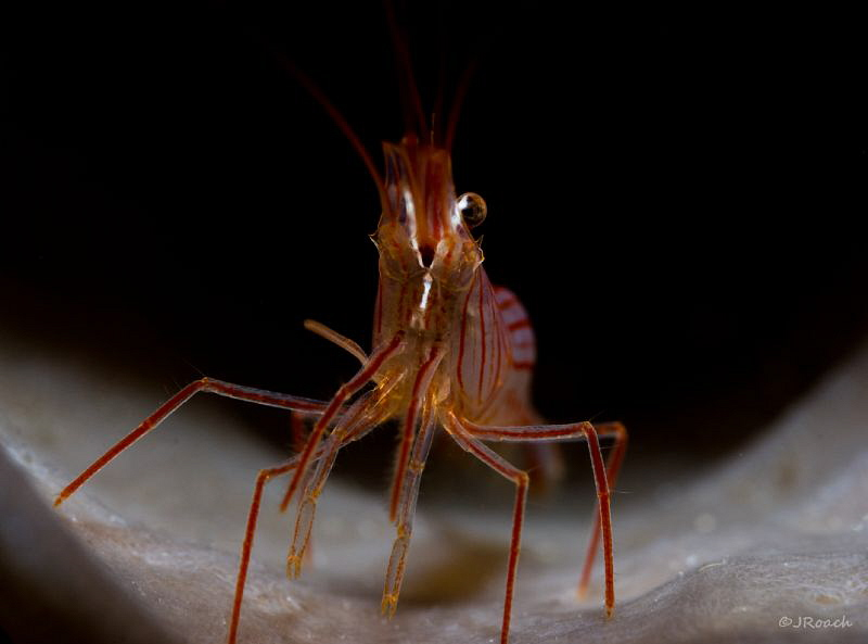Peppermint Shrimp dancing in the spot liight. by John Roach