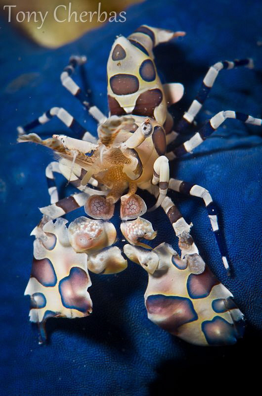 Juvenile Harlequin Shrimp on a Blue Sea Star by Tony Cherbas 