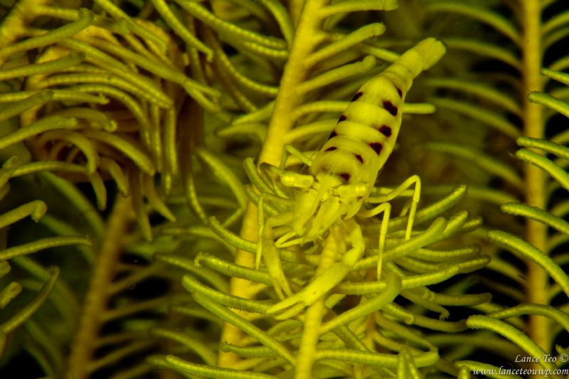Shrimp on Feather Star by Lance Teo