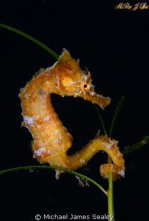 Baby sea horse on sea grass by Michael James Sealey