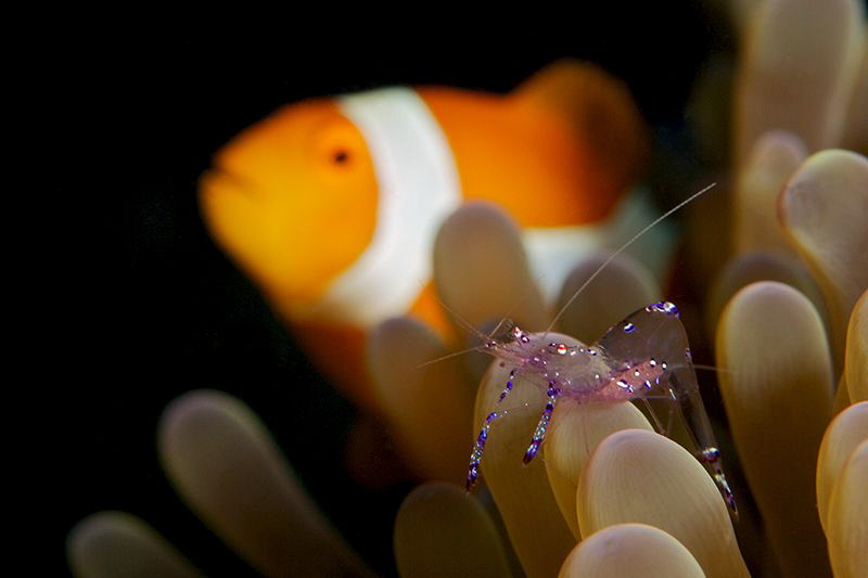 Commensal shrimp with eggs and Anemonefish on backgraund by Iyad Suleyman
