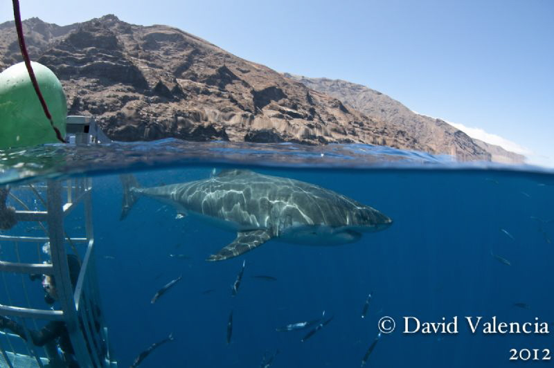 Shark diving in Guadalupe is the best. Clear water, the l... by David Valencia