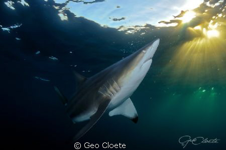 Admiring the Sun Black Tip Shark photographed close to A... by Geo Cloete